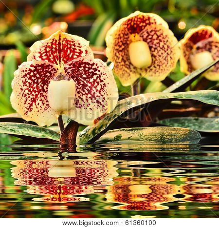 Flower Paphiopedilum.