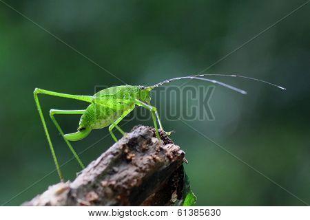Grasshopper Perching