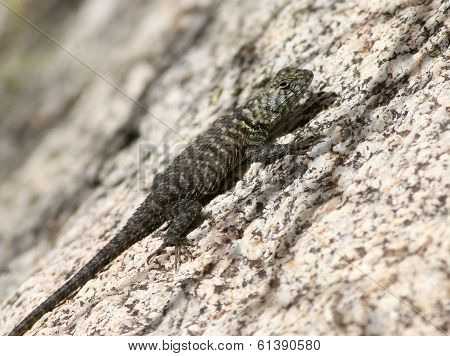 Granite Spiny Lizard on Granite