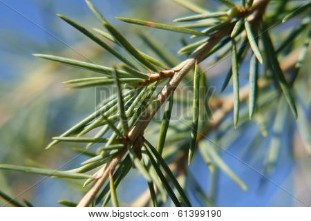 Evergreen Tree Branch Closeup