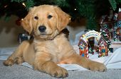 A Golden Retriever puppy lounges amongst holiday ornaments. poster