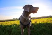 Weimaraner dog on the edge of a field, bright sunlight in rear. poster