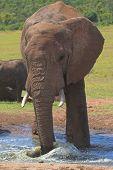 Elephant splashing around in the water poster