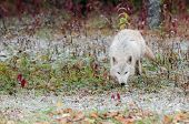 Blonde Wolf (Canis lups) Trots Along in Early Snowfall - captive animal poster