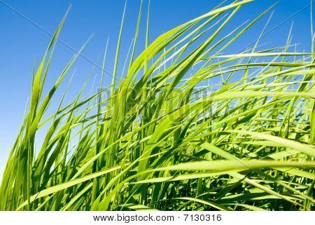Green Tallgrass