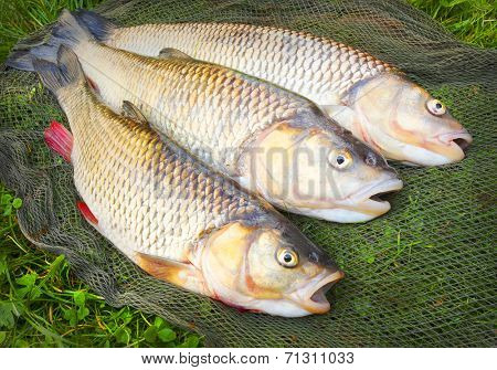 Catch of fishes. European Chub (Squalius cephalus).
