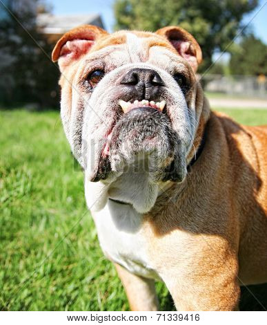 a bulldog with a huge underbite on a warm sunny day
