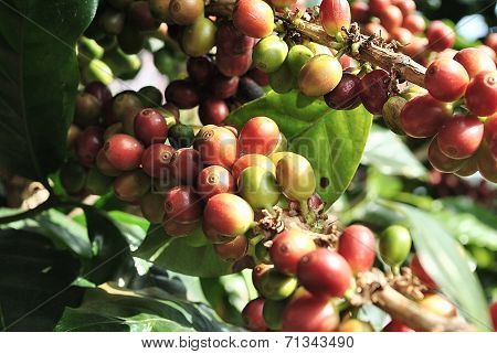 Coffee Tree Branches
