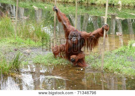 Orangutan Male With Cheek Pads Crossing Water