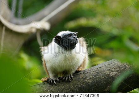 Pied Tamarin (saguinus Bicolor)