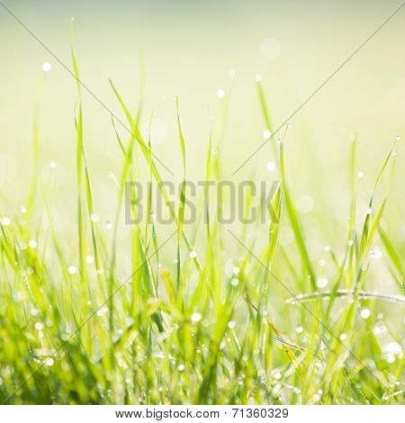 Dewy Morning Grass