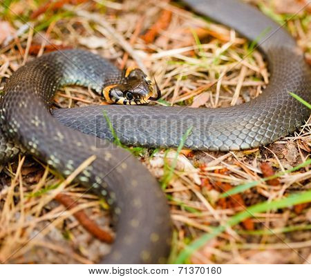 Grass-snake, Adder In Early Spring