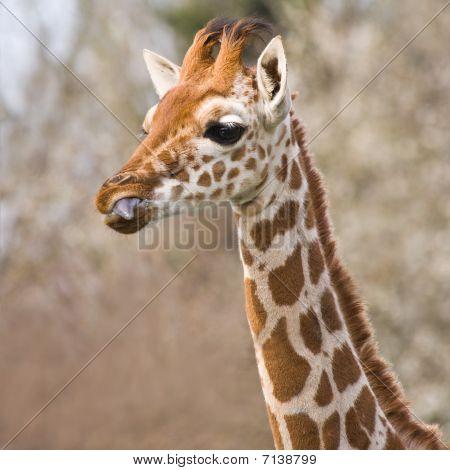 Baby Giraffe Portrait