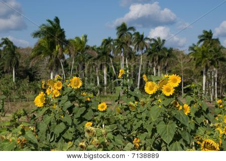 Sunflowers In A Tropical Landscape