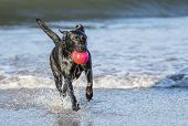 Black Labrador dog fetching a ball on the beach running towards camera with copy space poster
