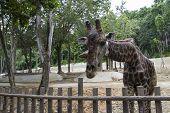 a giraffe bend down for vegetable feeding poster