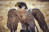 beak, peregrine falcon with open wings , bird of high speed poster