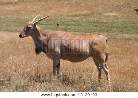 Eland - Largest Type of Antelope