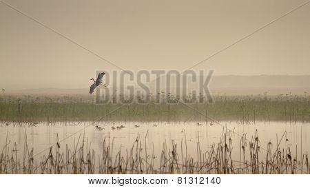 Flying Heron above a lake, in Terai,  Nepal