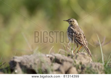 Anthus rufulus, Paddyfield Pipit In Bardia, Nepal poster