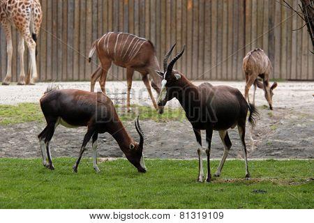 Blesbok antelopes (Damaliscus pygargus pygarus).