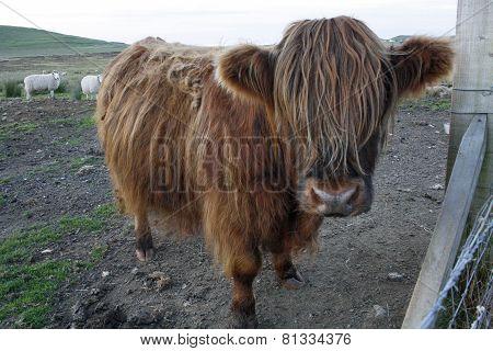 Huge Highland Cow