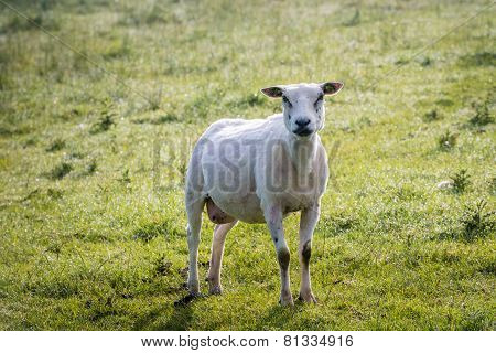Just Shorn Sheep Standing In The Grass