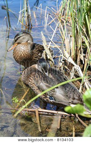 Wild Ducks Preparing To Journey