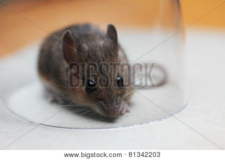 Little Field Mouse In A Glass