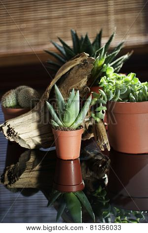Small Cactus for Decoration