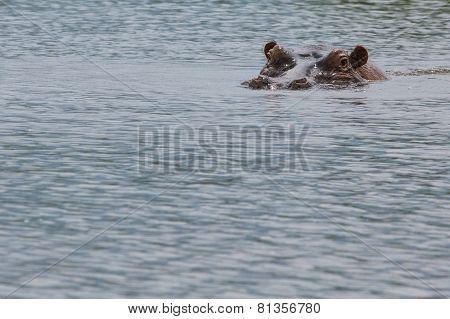 Hippopotamus In Ngorongoro Crater, Nature Reserve In Tanzania, East Africa