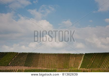 Vineyards At The Hills Of The River Mosel Edge In Summer With Fresh Grapes