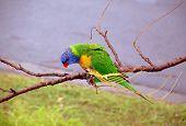 Lorikeet parrot sitting on branch poster