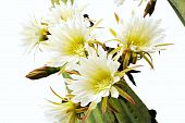 Close up of cactus flowers - Trichocereus scopulicolus - isolated poster