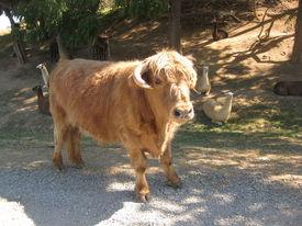 Scotch Highland Cattle