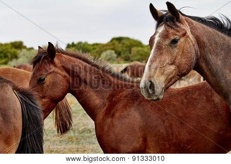 Herd Of Horses With Foal