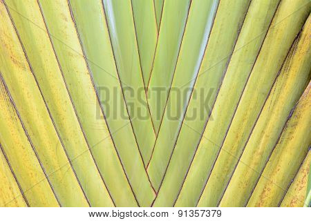 Ravenala is a plant that looks outstanding. Like palm leaves, banana stems ravenala a plant in the same family as the bird of paradise. poster
