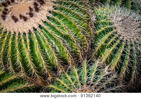 Cactuses close up