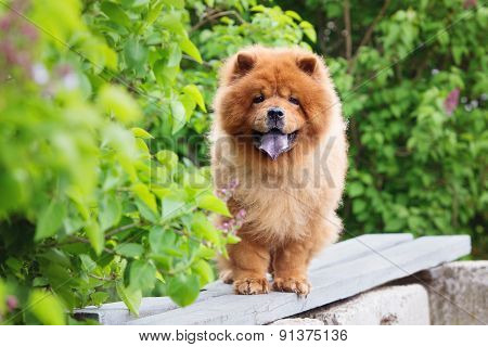 red chow chow dog outdoors