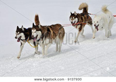 Racing Dogs