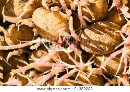 Background From Old Wilted Potatoes