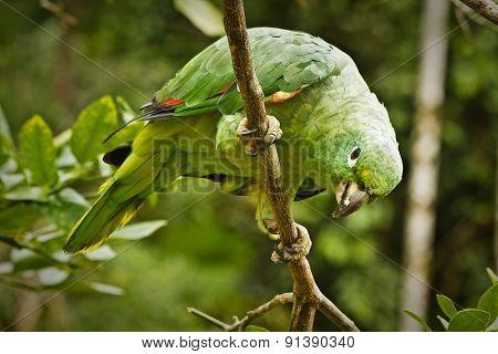 Close up shot of green parrot in the amazon rainforest, Yasuni National Park, Orellana, Ecuador poster