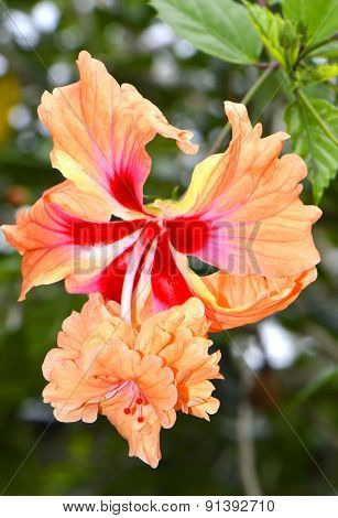 Hibiscus rosa senensis 'Double Orange'