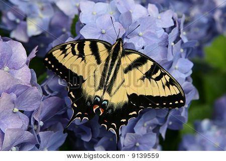 Butterfly On Hydrangea