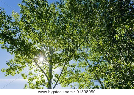 Sunlight Through Quaking Aspens.