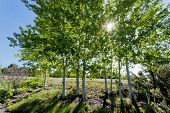 Sunlight shines through the quaking aspen trees at the arboretum in Mocsow Idaho. poster