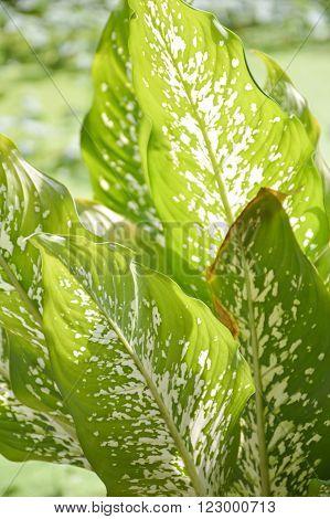 fresh green Dieffenbachia tree in nature garden