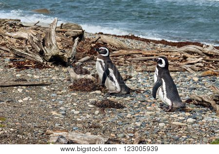 Two Magellanic penguins at the Otway Sound penguin colony in Punta Arenas Chile