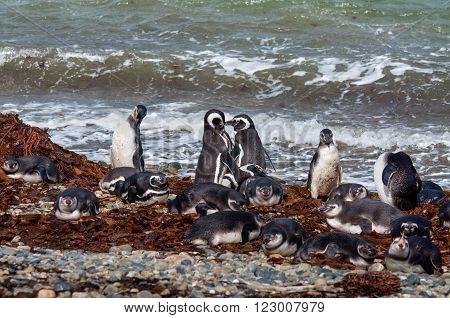 Magellanic Penguins (Spheniscus magellanicus) at the coast of Seno Otway Chile