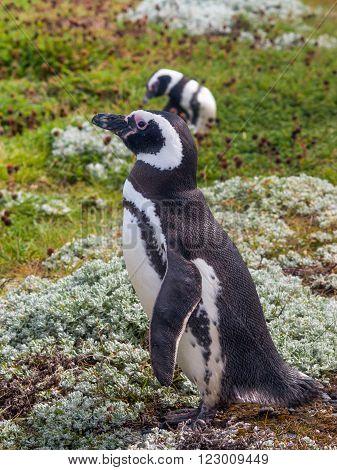 Magellanic Penguin Seno Otway - Punta Arenas Chile